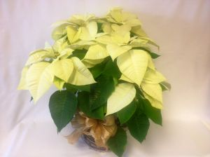 Large White Poinsettia