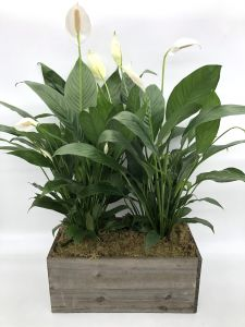 Double Peace Lilies in Wooden Box