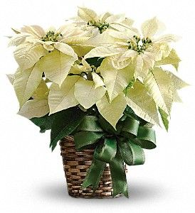 Medium White Poinsettia